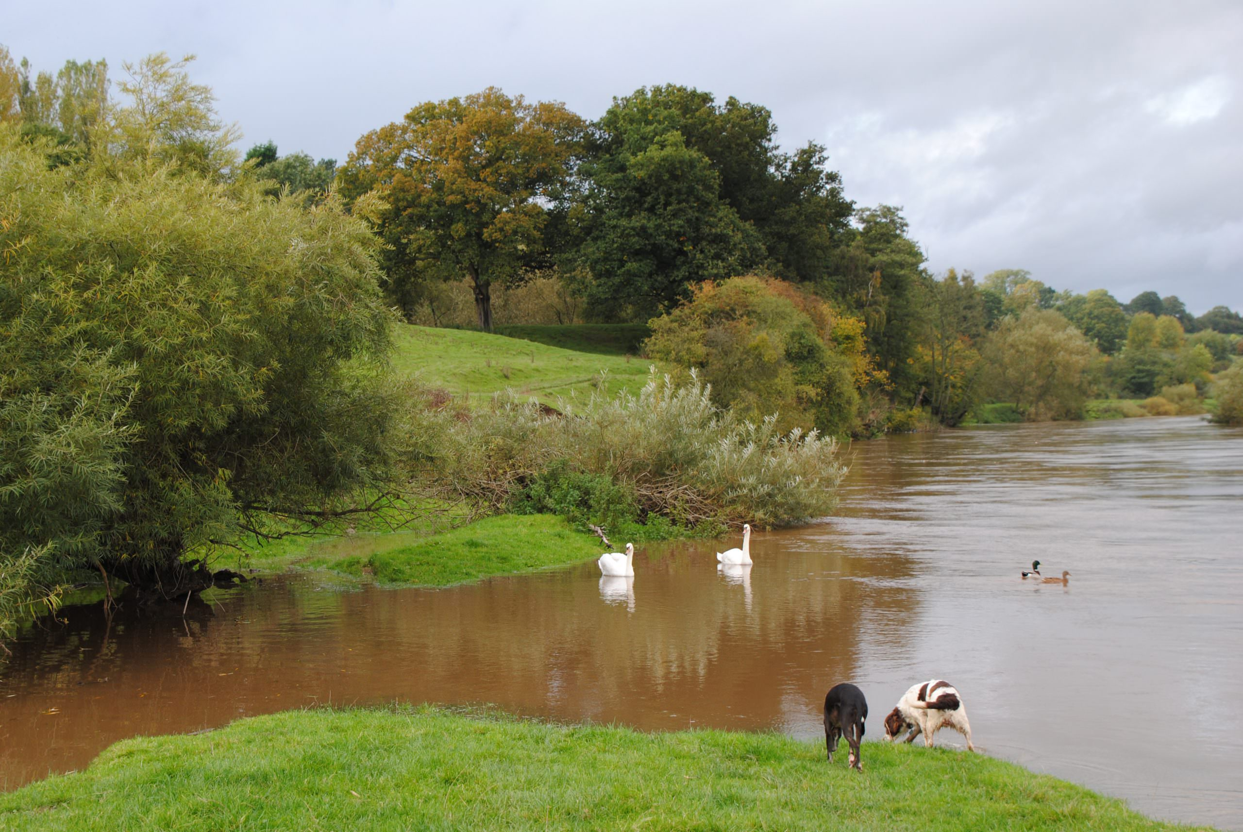 A view down the river Severn, 2 ducks and 2 swans are swimming, 2 dogs are on the near side bank. The rivers flowing fast, there are lots of trees on the far bank and the weather is good.