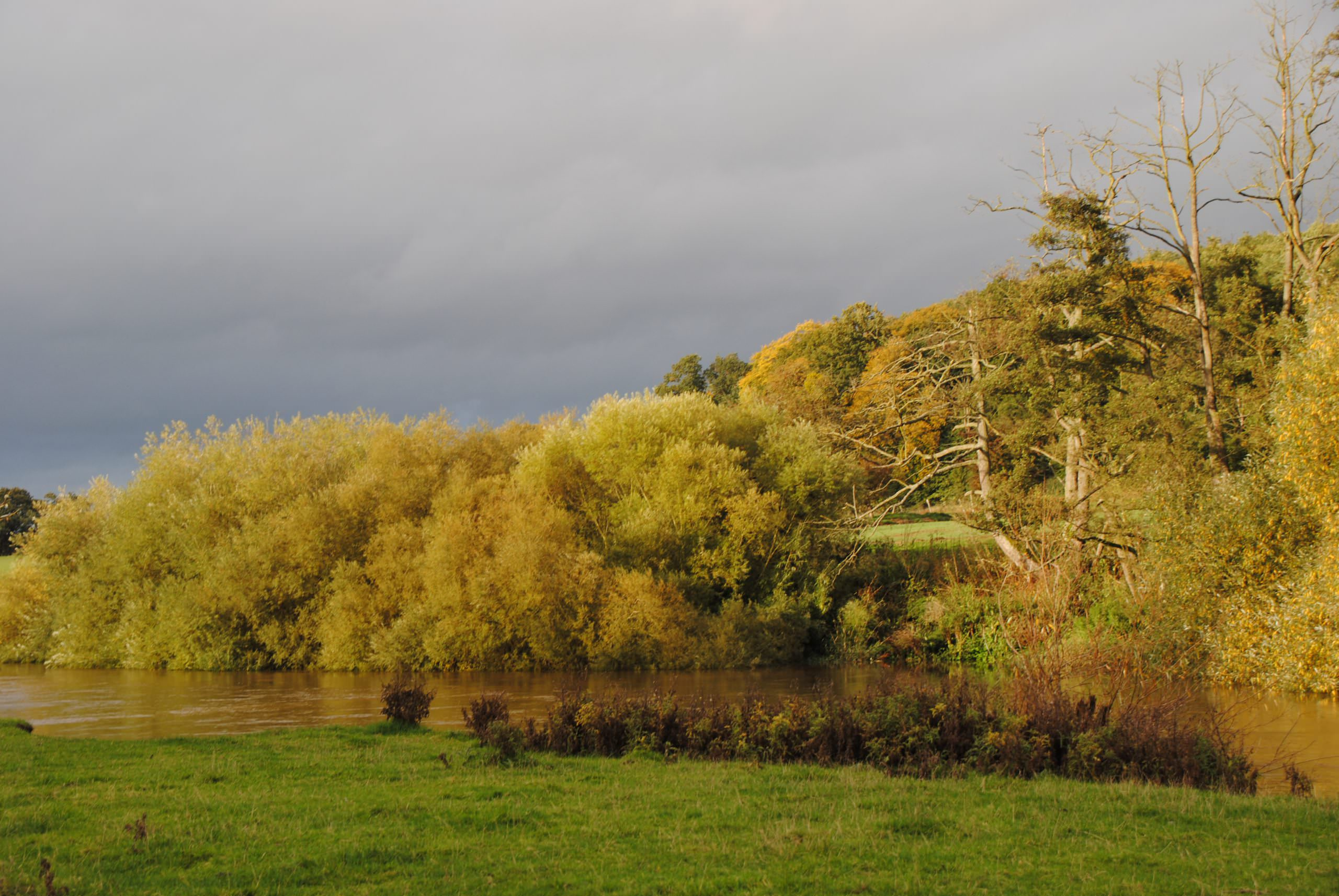 An early autumn view of the river Severn, the tall trees on the far bank are in full leaf but are turning golden and brown the river is high and the bank on the near side is green. The sky is moody and grey.