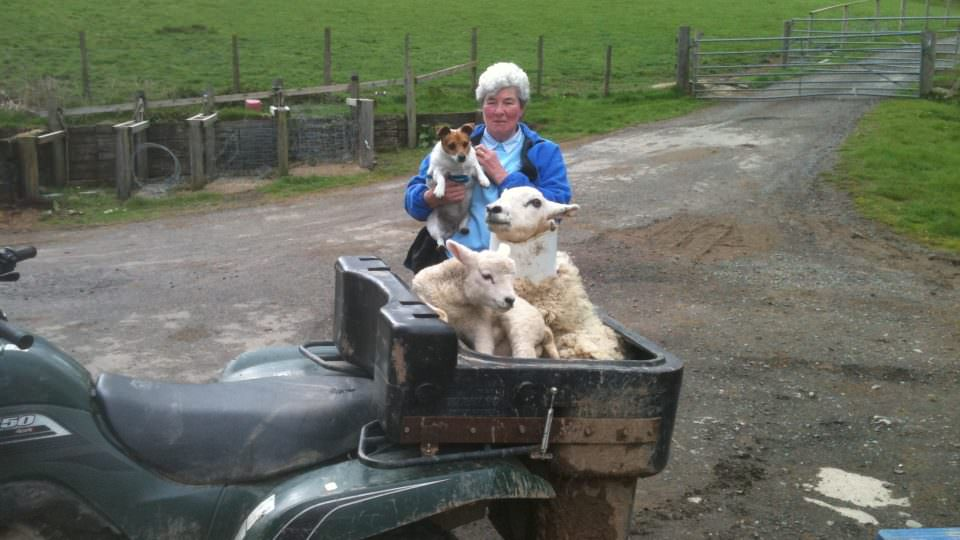 An elderly lady stands holding a Jack Russel dog in her arms. She is looking at a quad bike with a large carrier on the back. Inside the carrier are 3 small new born lambs.