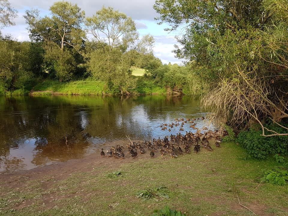 The well pecked grassy bank leads down to the river Severn. There are scores of ducks flocking by the river bank; the opposite side is covered by thick tall bushes and trees.